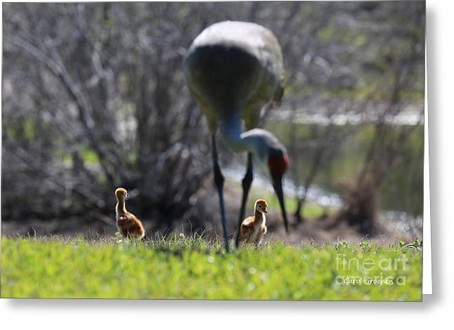 Sandhill Crane Chicks Greeting Cards - Chicks Under Foot Greeting Card by Carol Groenen