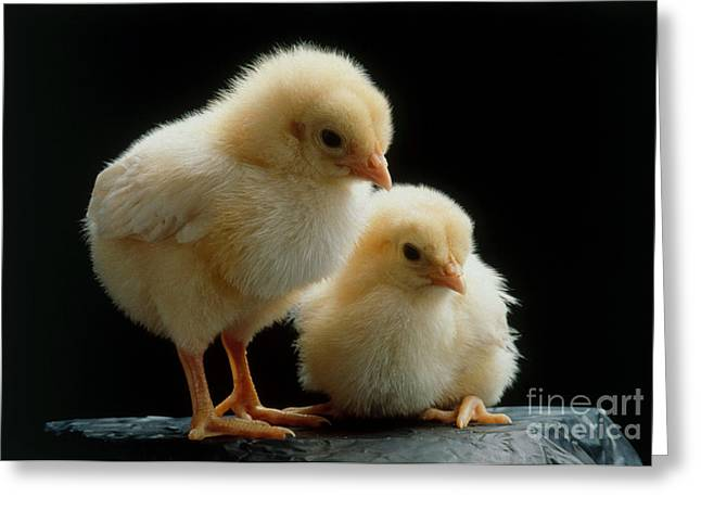 Fluffy Chickens Greeting Cards - Chicks Greeting Card by Zack Burris/ Okapia