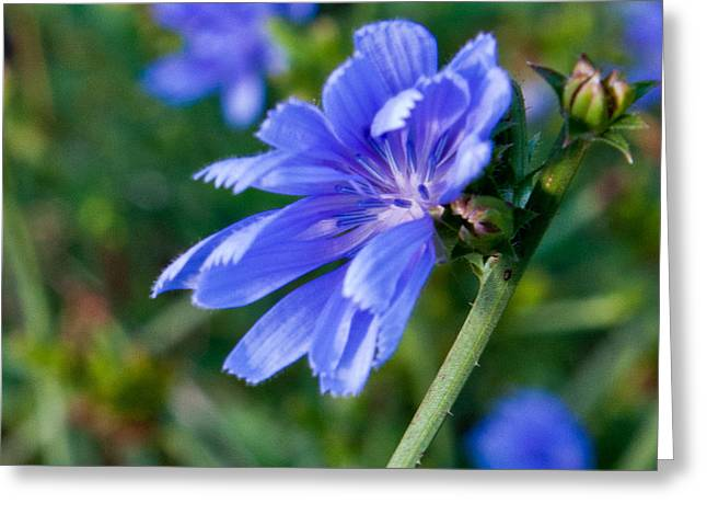 Cvnp Greeting Cards - Chicory 1 Greeting Card by Claus Siebenhaar