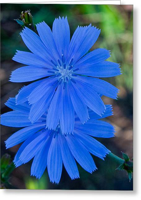 Cvnp Greeting Cards - Chicory 2 Greeting Card by Claus Siebenhaar