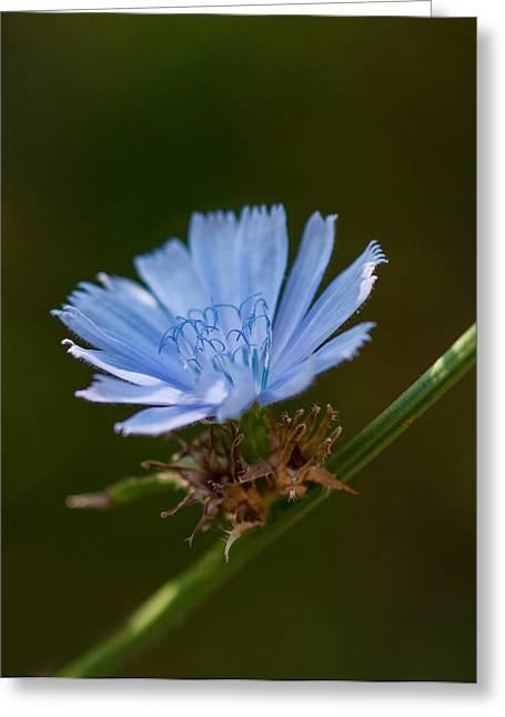 Chicory Greeting Card by Lara Ellis