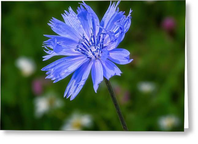 Survivor Art Greeting Cards - Chicory - Wildflower Greeting Card by Henry Kowalski