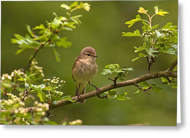 Scoullar Greeting Cards - Chiffchaff Greeting Card by Paul Scoullar