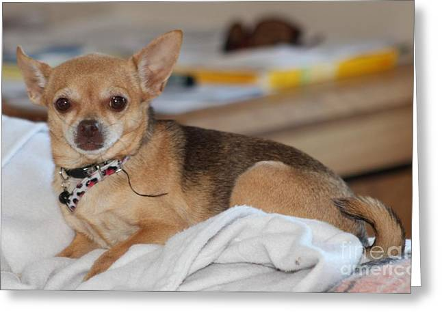 Chihuahua Artwork Greeting Cards - Chihauhau    Greeting Card by Michelle Powell