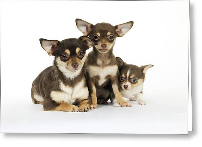 Puppy Sitting Greeting Cards - Chihuahua And Puppy Dogs Greeting Card by John Daniels