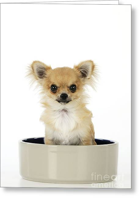 Toy Dog Greeting Cards - Chihuahua Dog In Bowl Greeting Card by John Daniels