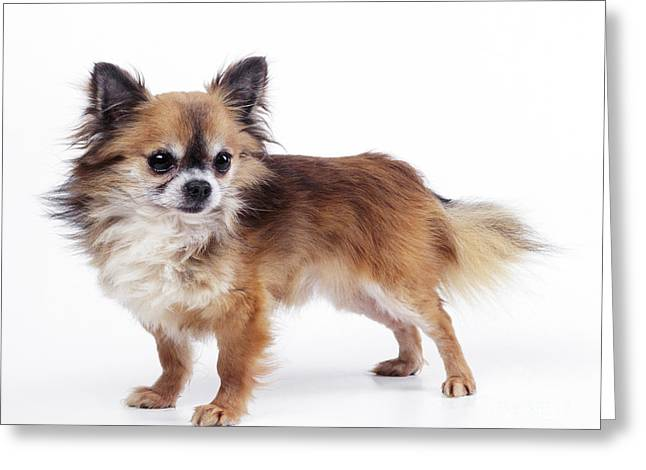 Toy Dog Greeting Cards - Chihuahua Dog Greeting Card by John Daniels