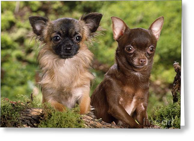 Toy Dog Greeting Cards - Chihuahua Dogs Greeting Card by Jean-Michel Labat