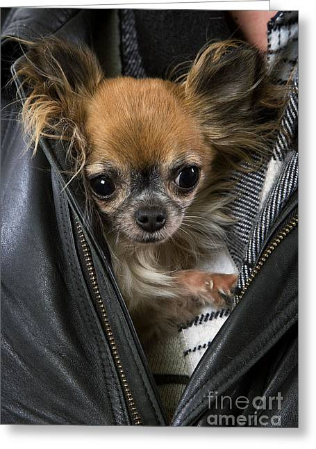 Toy Dog Greeting Cards - Chihuahua In A Jacket Greeting Card by Jean-Michel Labat