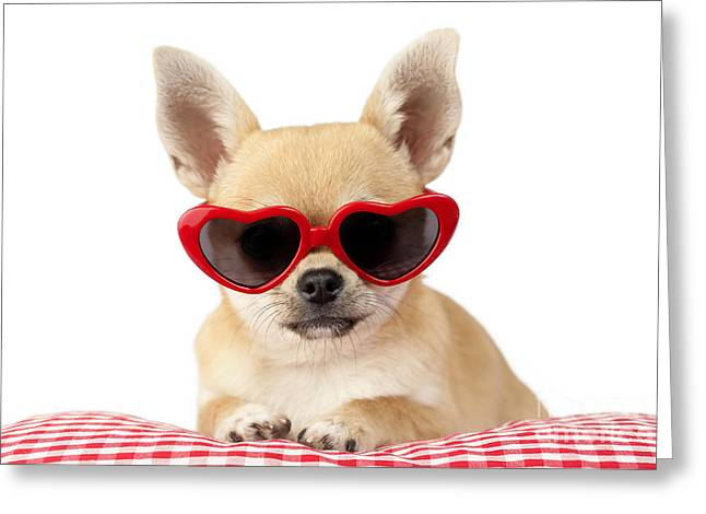 Chihuahuas Greeting Cards - Chihuahua in Heart Sunglasses DP813 Greeting Card by Greg Cuddiford