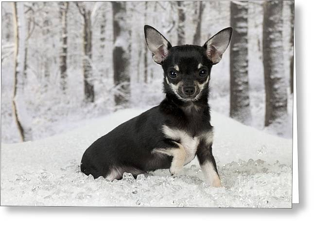 Dog In Snow Greeting Cards - Chihuahua In Snow Greeting Card by John Daniels