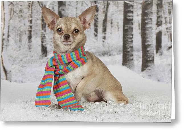 Chihuahua In Winter Greeting Card by John Daniels