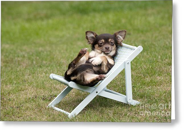 Sitting In Chair Greeting Cards - Chihuahua On Chair Greeting Card by John Daniels