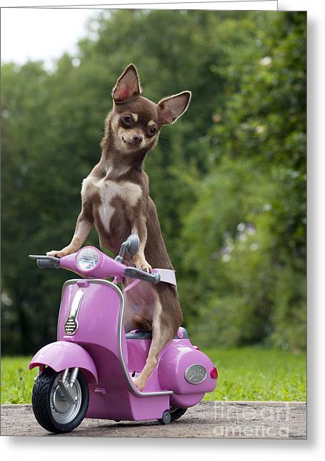 Funny Scooter Greeting Cards - Chihuahua On Scooter Greeting Card by John Daniels
