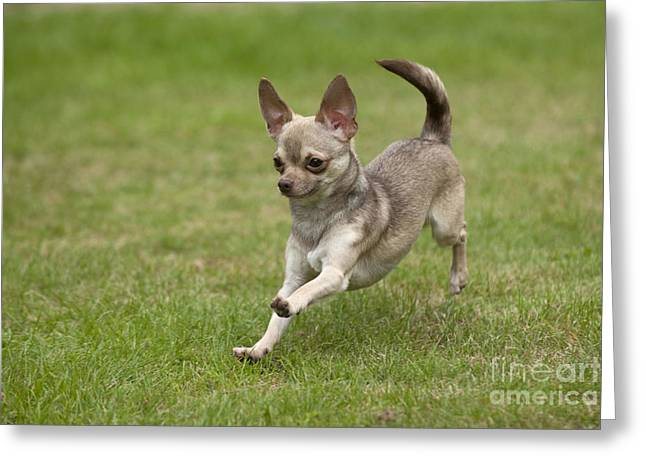 Short Hair Chihuahua Greeting Cards - Chihuahua Playing Greeting Card by John Daniels