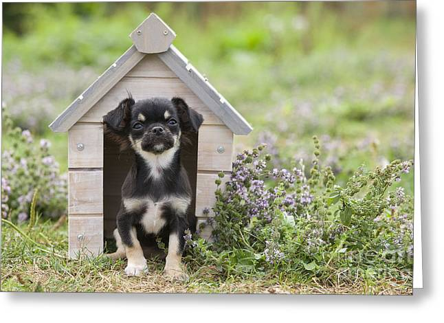 Toy Dog Greeting Cards - Chihuahua Puppy Dog Greeting Card by Jean-Michel Labat