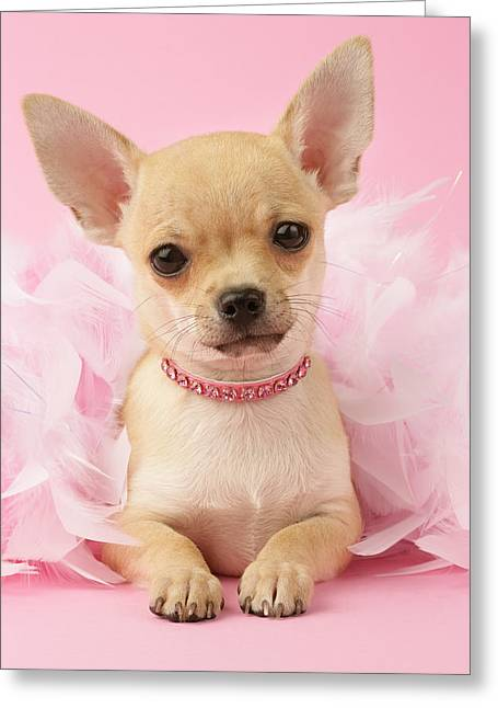 Puppies Photographs Greeting Cards - Chihuahua With Feather Boa Greeting Card by Greg Cuddiford