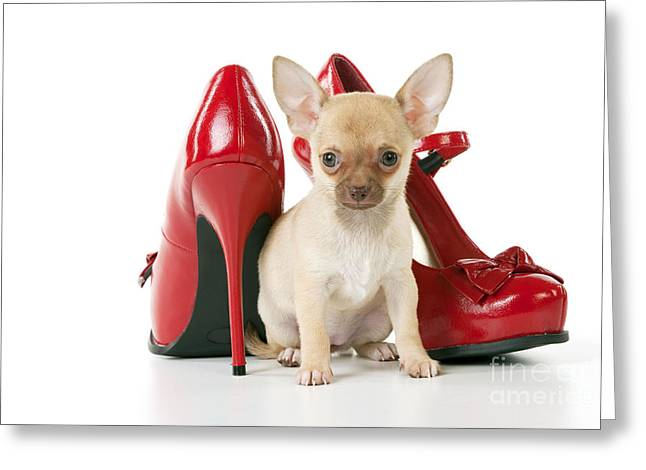 Short Hair Chihuahua Greeting Cards - Chihuahua With Shoes Greeting Card by John Daniels