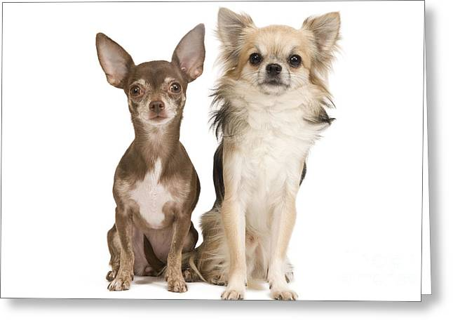 Short Hair Chihuahua Greeting Cards - Chihuahuas Greeting Card by Jean-Michel Labat
