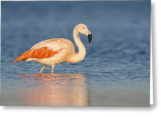 Chilean Flamingo Greeting Card by Ronald Kamphius