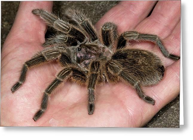 Chilean Rose Tarantula Held In Hand Greeting Card by Nigel Downer