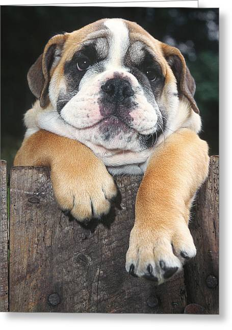 Bulldog Puppies Pictures Greeting Cards - Chill out man Greeting Card by Martin  Fry