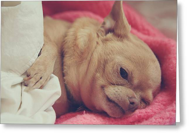 Chihuahua Portraits Greeting Cards - Chillin Greeting Card by Laurie Search