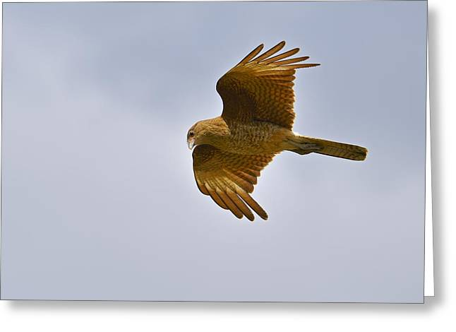 Falcon Hunting Greeting Cards - Chimango Greeting Card by Tony Beck