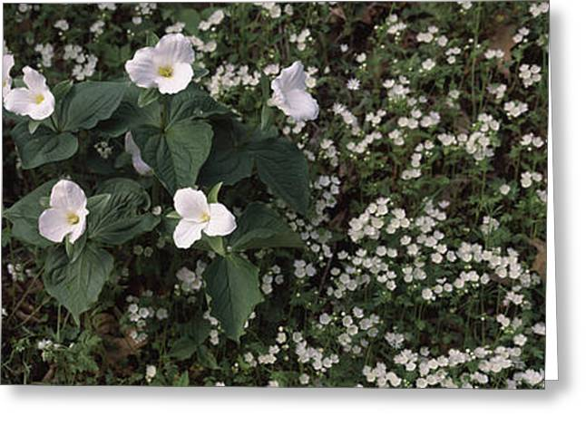 Chimney Tops, Great Smoky Mountains Greeting Card by Panoramic Images