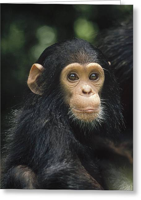 Gerry Greeting Cards - Chimpanzee Baby Portrait Gombe Stream Greeting Card by Gerry Ellis