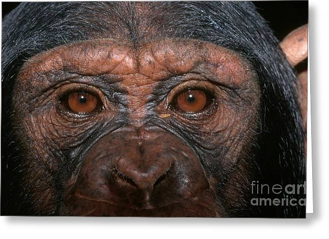 Chimpanzee Greeting Cards - Chimpanzee Eyes Greeting Card by Nigel J Dennis