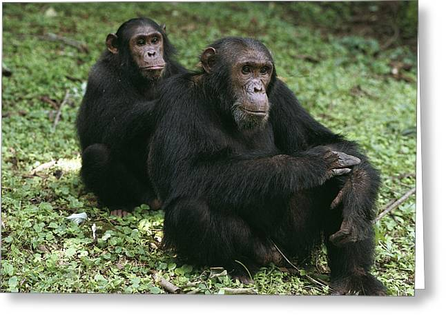 Animals Love Greeting Cards - Chimpanzee Grooming Another Gombe Stream Greeting Card by Gerry Ellis