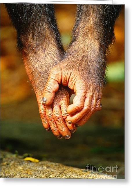Chimpanzee Greeting Cards - Chimpanzee Hands Greeting Card by Art Wolfe