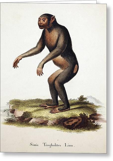 Chimpanzee (linnaeus) Greeting Card by Paul D Stewart