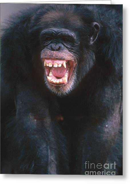 Aggressive Postures Greeting Cards - Chimpanzee Greeting Card by Mark Newman