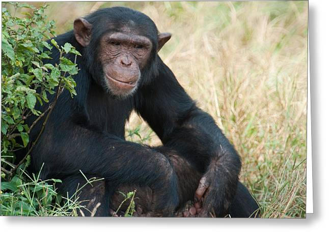 Uganda Greeting Cards - Chimpanzee Pan Troglodytes In A Forest Greeting Card by Panoramic Images