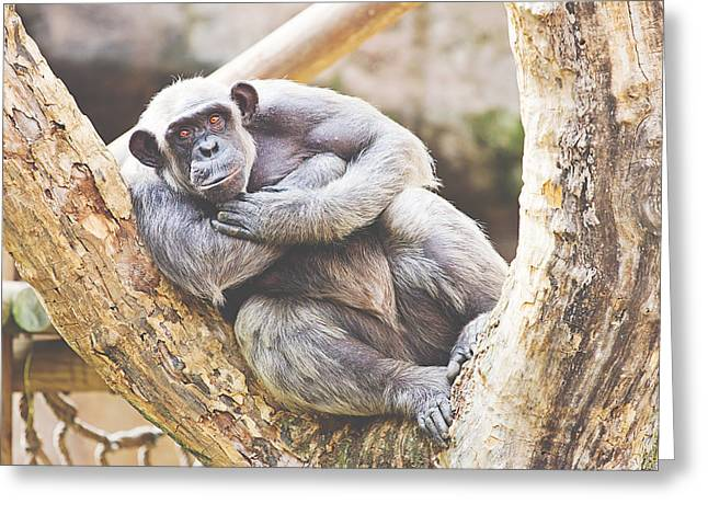 Humanlike Greeting Cards - Chimpanzee Greeting Card by Pati Photography