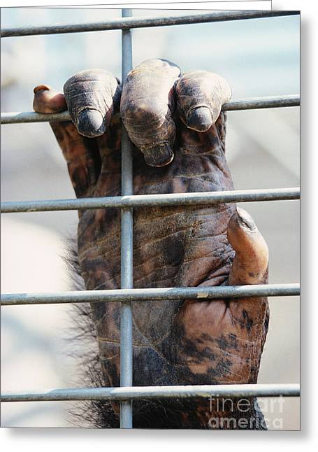 Captive Animals Greeting Cards - Chimpanzees Hand Greeting Card by Gregory G. Dimijian, M.D.
