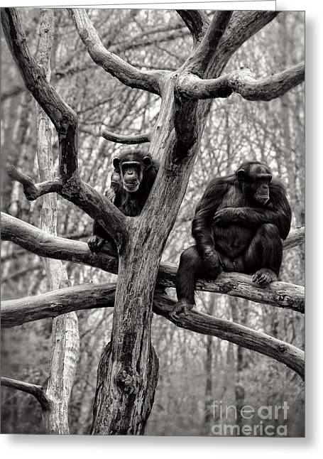 Chimpanzee Greeting Cards - Chimpanzees Greeting Card by HD Connelly