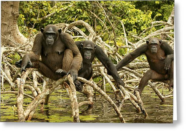 Chimpanzees On Mangroves Greeting Card by Jean-Michel Labat