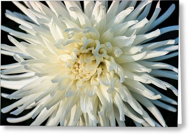 Aster Greeting Cards - China Aster Greeting Card by Alexander Senin