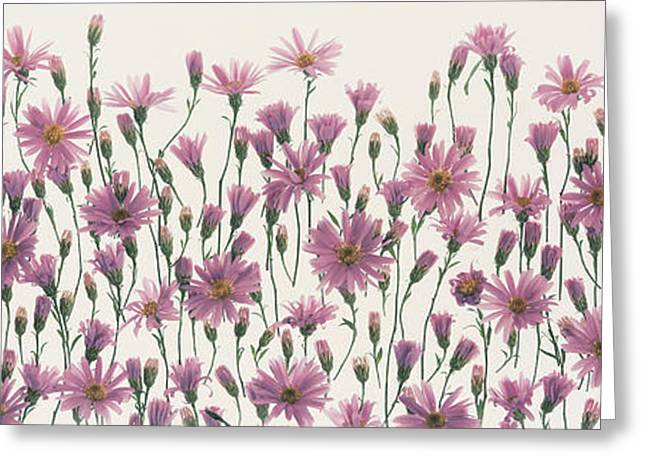 Flower Blooms Greeting Cards - China Asters Greeting Card by Panoramic Images