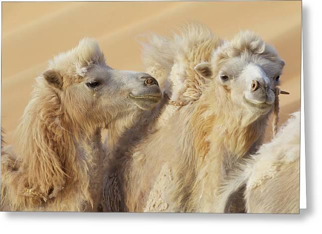China, Gansu Province, Badain Jaran Greeting Card by Jaynes Gallery