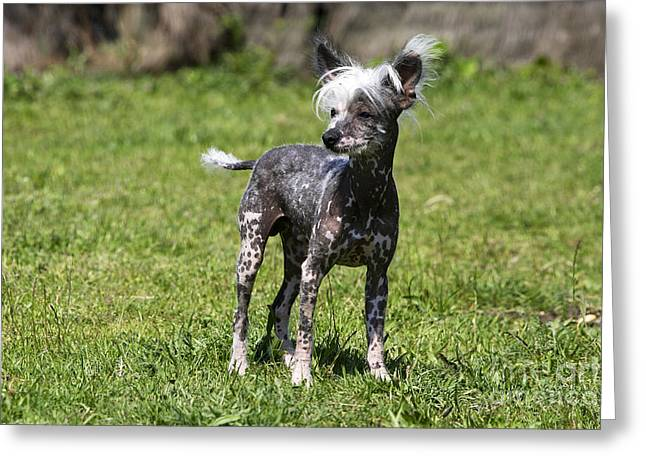 Toy Dog Greeting Cards - Chinese Crested Dog Greeting Card by M. Watson