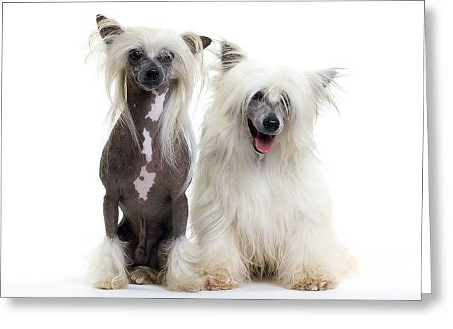 Best Friend Greeting Cards - Chinese Crested Dogs Greeting Card by Jean-Michel Labat