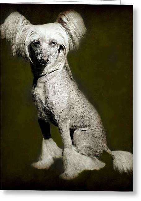 Bred Photographs Greeting Cards - Chinese Crested Hairless Greeting Card by Diana Angstadt