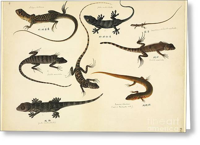 Versicolor Greeting Cards - Chinese Lizards, 19th Century Greeting Card by Natural History Museum, London