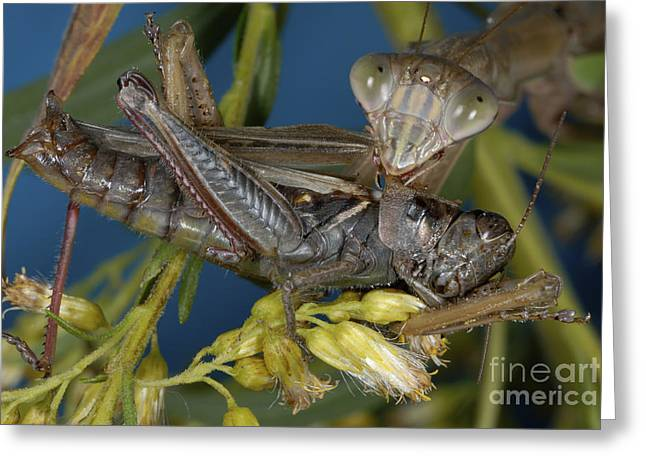 Mantid Greeting Cards - Chinese Mantid Eating A Grasshopper Greeting Card by Scott Camazine