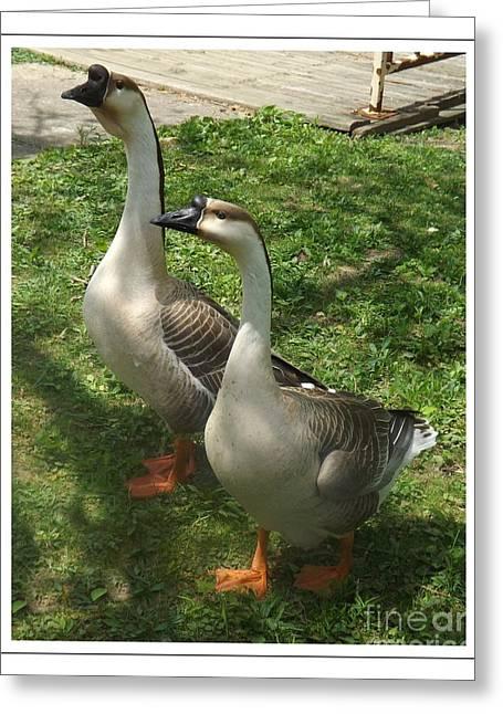 Chinese Swan Goose Pair 2 Greeting Card by Sara  Raber