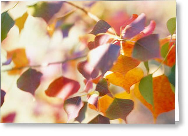 Dappled Sunlight Greeting Cards - Chinese Tallow Leaves Greeting Card by Panoramic Images
